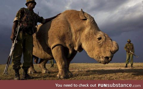 A picture of loneliness. You are looking at the last male Northern White Rhino on earth