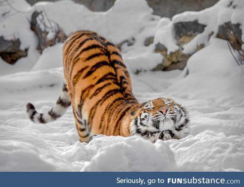 Just cute russian tiger