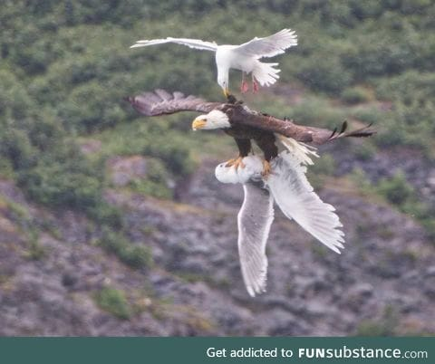 A desperate seagull trying to save his friend from the clutches of a bald eagle