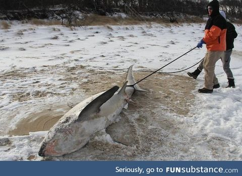 It's so cold in the US that sharks are freezing to death