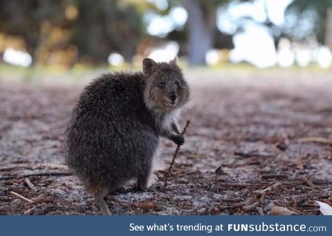 This quokka looks like he's ready to guide you on a special quest