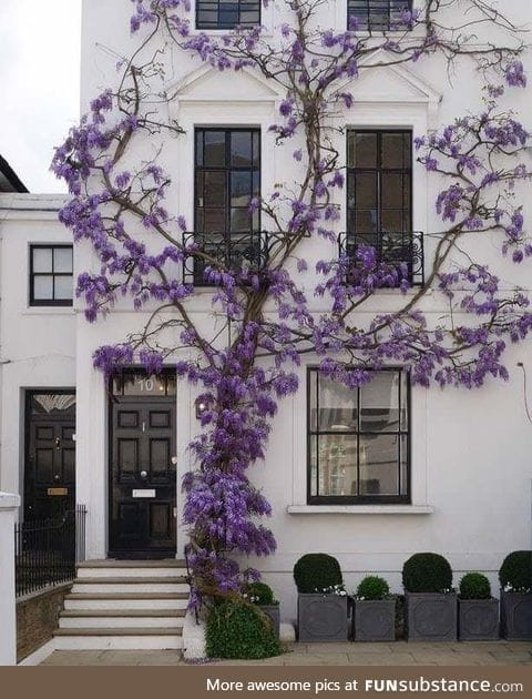 Wisteria plant growing on a white wall