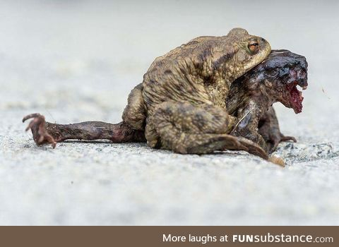 Female toads head was eaten alive by parasitic blowfles, but the male toad still tries