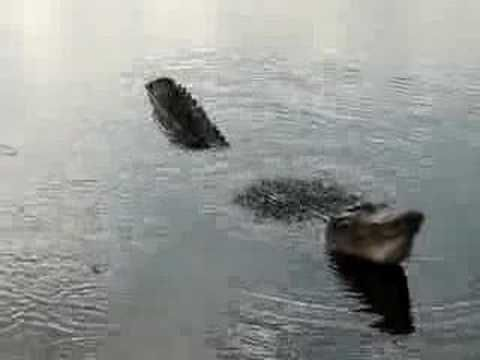 Have you seen an alligator growl?