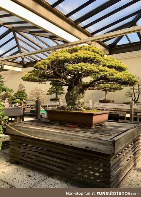 This 400 yr old bonsai survived the bombing of Hiroshima, despite being 2 miles away