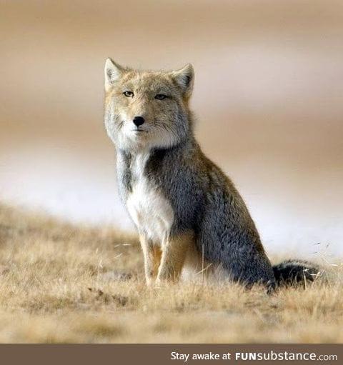 The Tibetan Sand Fox looks like a cross between Nicolas Cage and normal fox