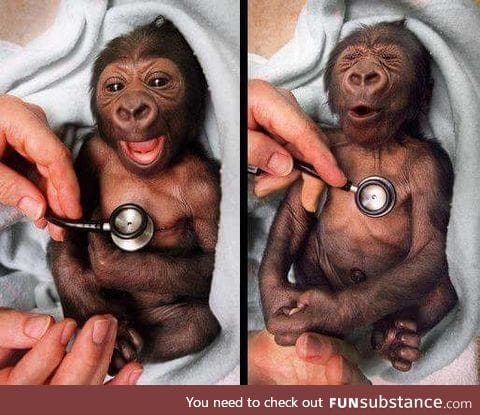 Here's a baby gorilla at the Melbourne zoo getting a check up. It's facial