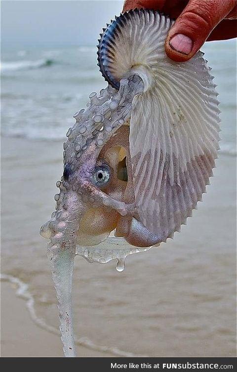 Argonaut aka Paper Nautilus