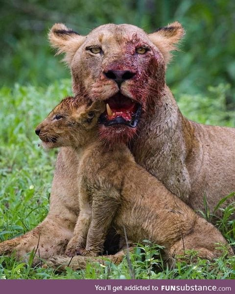 Lioness lost a tooth fighting for her cub. A mothers love