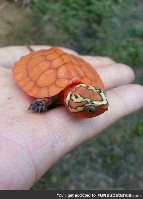 An unusually bright orange baby Big-headed Turtle