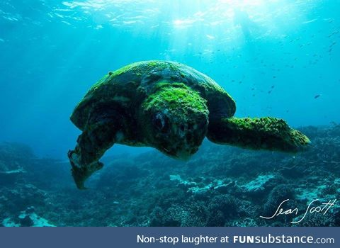 A beautiful 100 year-old turtle. Southern Great Barrier Reef, Australia