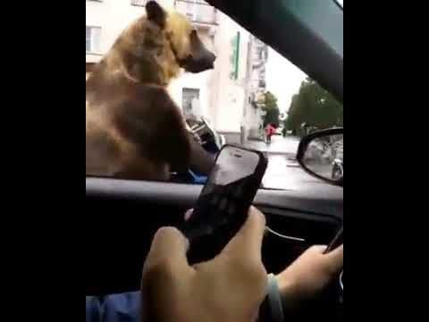 Bear sitting In traffic then asks for horn