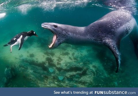 PsBattle: This leopard seal snacking on a penguin