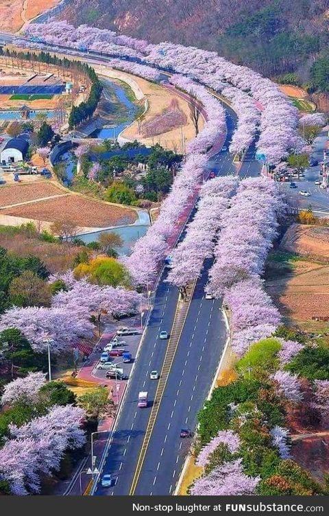 Cherry blossom land japan