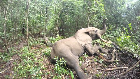 What an Elephant does when it wakes up from being tranquilized (watch till end)
