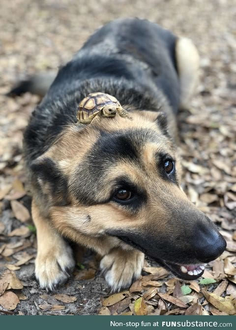 PsBattle: Turtle on top a dog's head!