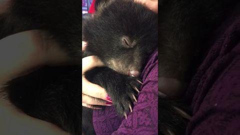 Have you heard bear's purr?