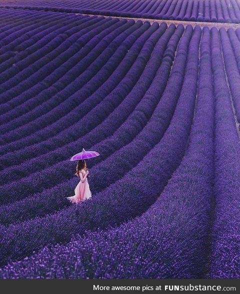 France's Lavender Fields