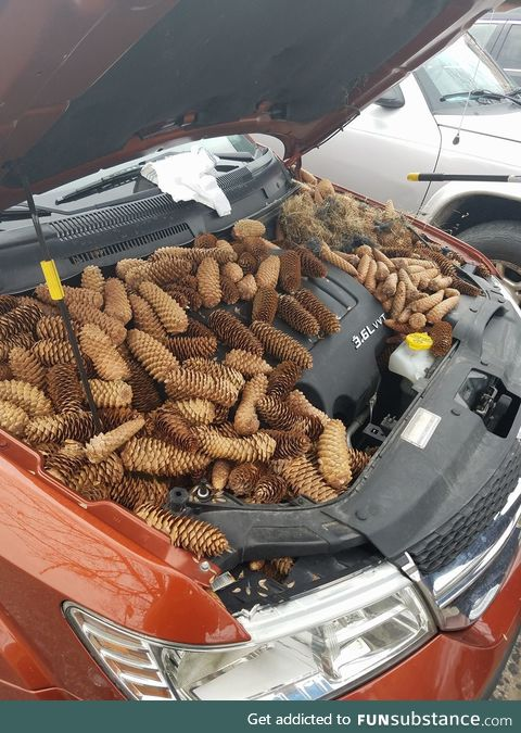 Squirrels stash 50 pounds of pine cones in car engine