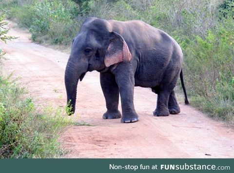 A five foot tall elephant with dwarfism