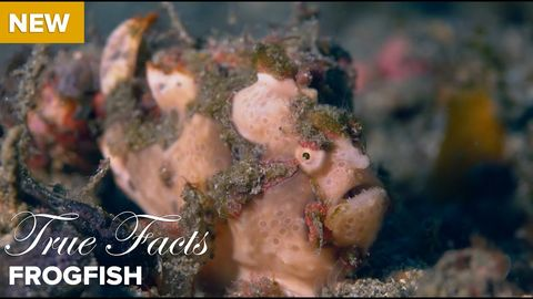 True facts about the frog fish