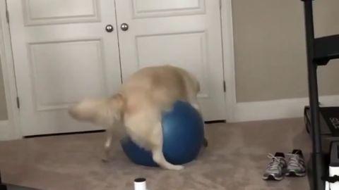 Doggo gets stuck on exercise ball