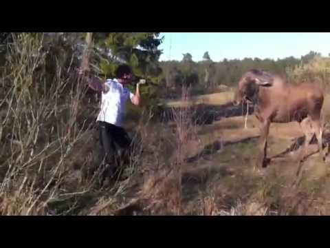 Man stops a charging moose like a cave man