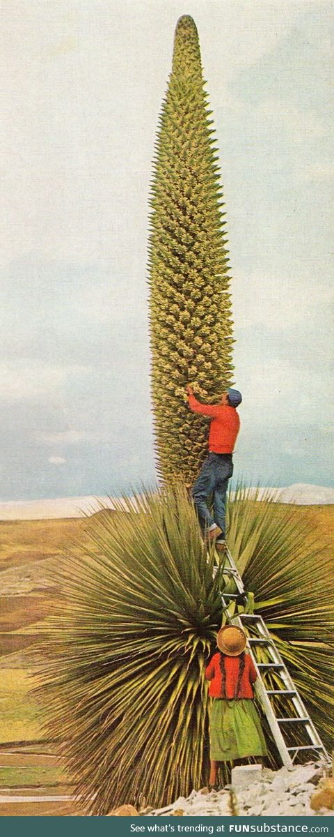 A blooming Queen of the Andes cactus, each node is made of dozens of flowers
