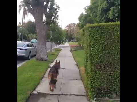 German Sheperd realizes owner isnt behind him any more