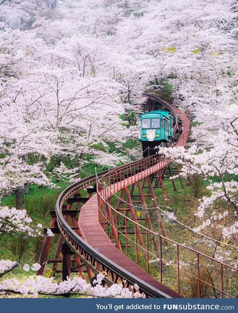 A ride thru the Cherry Blossoms