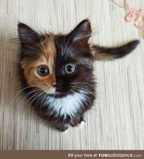 """meow!.... MOOOOO!"" - multiple personality kitty?"
