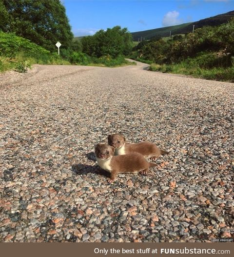 Two baby weasels pause for a photograph while scampering across a scenic road