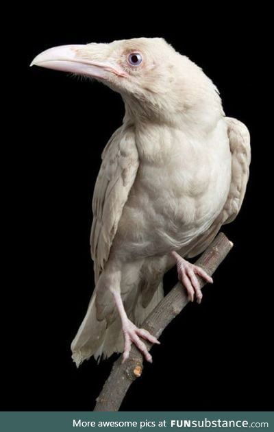 Pearl, the last albino raven discovered, was one of the rarest birds in existence
