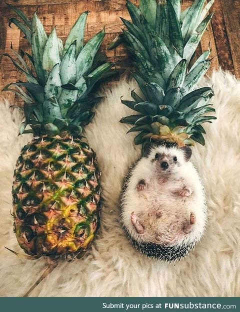Hedgeapple or pinehog?
