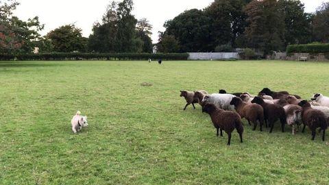 Role reversal: Sheep chase dog