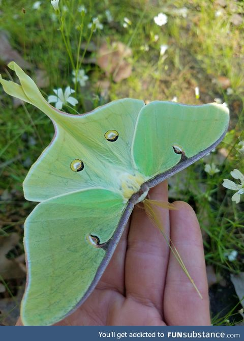 This beautiful Luna moth