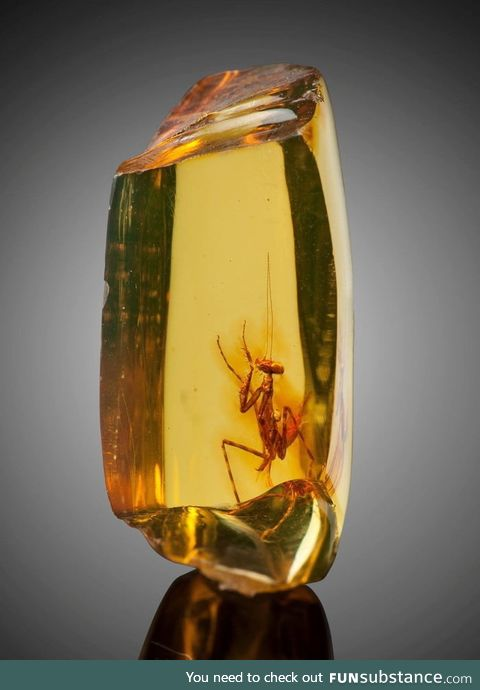 A praying mantis (hymenaea protera) trapped in amber. Approximately 12 million years old