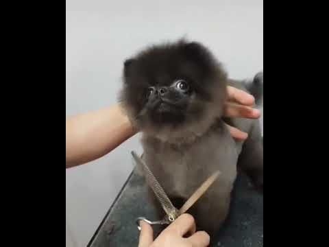 Dog likes getting his hair cut