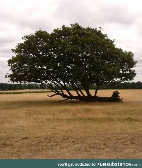 This is a fallen tree that does not give up