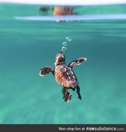 A young sea turtle exploring his new world-take by Ben J Hicks