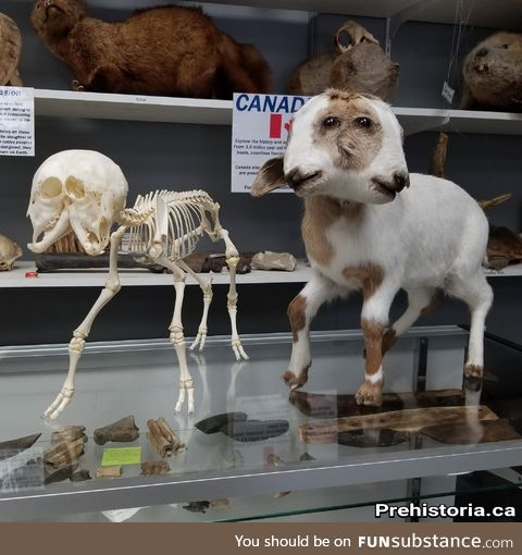 Real two-headed goat skeleton and taxidermy mount