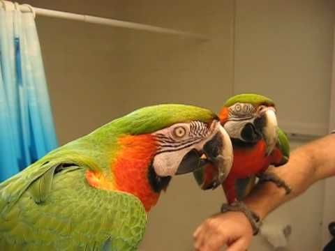 Macaw shushing another bird being too noisy