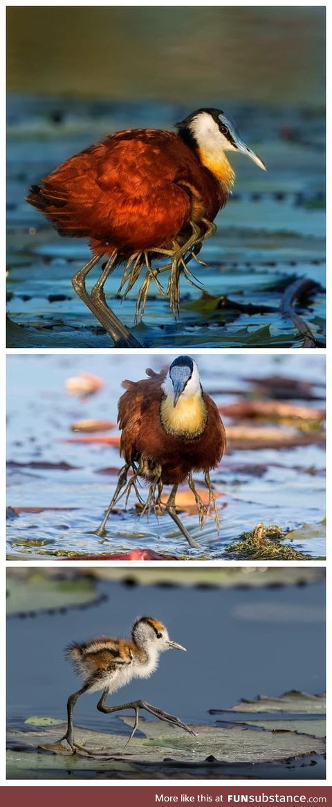 Jacana keep their young in their wings and look creepy