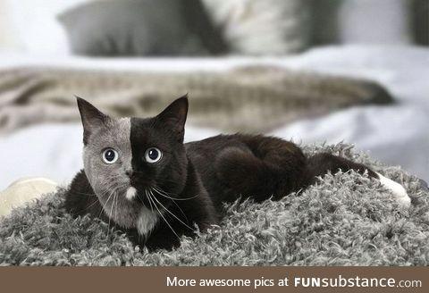 A chimera cat