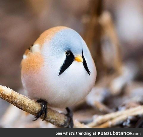 I present to you, the Bearded Tit