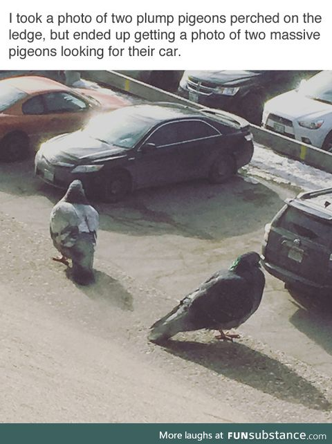 Two Plump Pigeons Looking For Their Car
