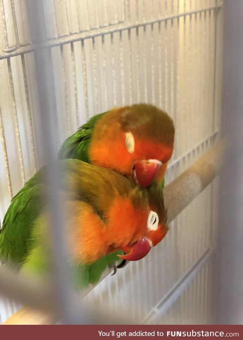 Lovebirds being lovebirds