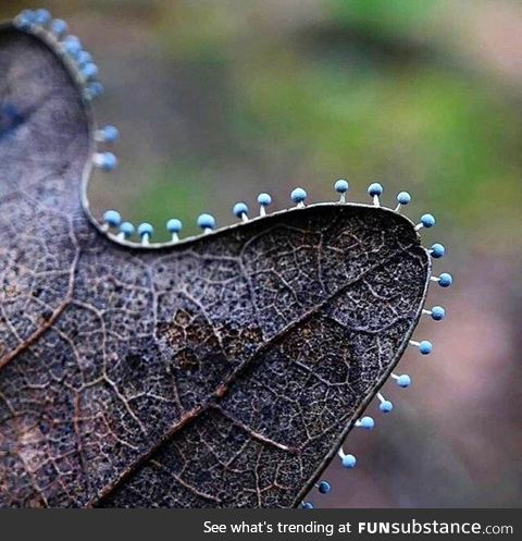 Slime mold on the edge of a leaf