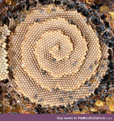There's a species of bee that makes spiral honeycombs