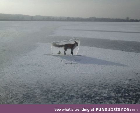 A fox frozen in ice